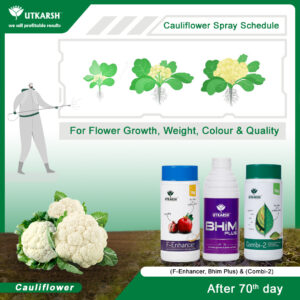 Cauliflower Farming - The important stages and what to do in them