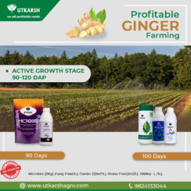 Ginger Cultivation: Did you know profitable 5 Golden Stages?