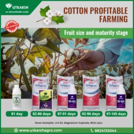 Cotton cultivation maturity stage